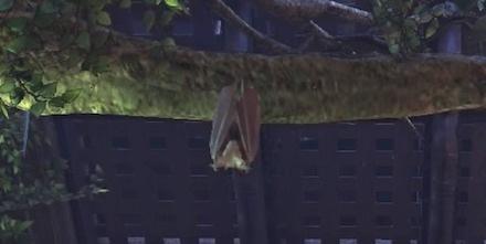ウロコウモリの画像