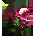 芍薬の画像