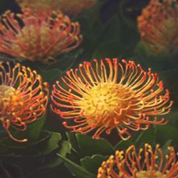 レウコスペルムム(針の莚の如く花)の画像