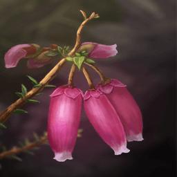 エリカ(孤独の花)の画像