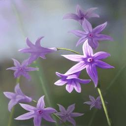 ツルバギア・ビオラケア(臭い小さな花)の画像