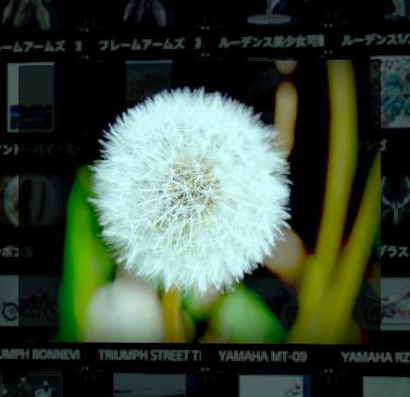 たんぽぽの種子