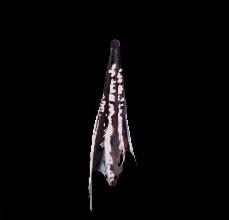 深淵の龍骸布・桜の画像