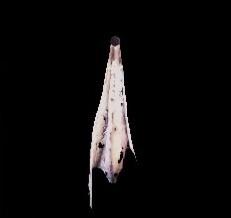 聖域の龍骸布・紫の画像