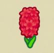 赤いヒヤシンス画像