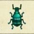 Blue Weevil Beetle Image