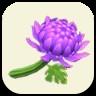 紫のキクの画像