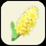 黄色いヒヤシンスの画像