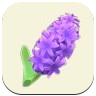 紫のヒヤシンスの画像