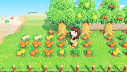 かぼちゃの再収穫