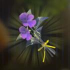 ゴーゴースミレ画像